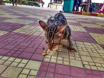 The cat in public. Stray Cat living  among people and asks for patato chips Stock Images