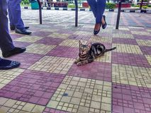 The cat in public. Stray Cat living  among people and asks for patato chips Stock Photo