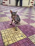 The cat in public. Stray Cat living  among people and asks for patato chips Royalty Free Stock Photo