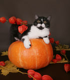 Cat on a pumpkin. In the autumn still life stock images