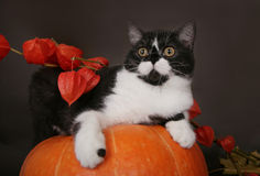 Cat on a pumpkin. In the autumn still life stock image
