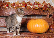 Cat and pumpkin, autumn Royalty Free Stock Images