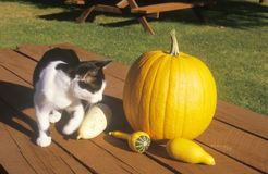 Cat with Pumpkin and Squash on Picnic Table, Connecticut Royalty Free Stock Photography