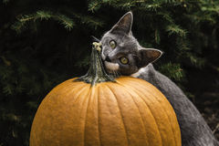 Cat and pumpkin Stock Images