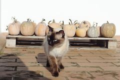 Cat among pumpkins stock image