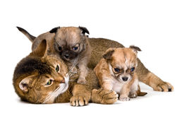 Cat and puppies of the chihuahua Royalty Free Stock Image