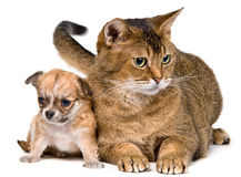 Cat and puppies of the chihuahua Stock Images
