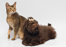 Cat and puppies of the lapdog in studio. On a neutral background Royalty Free Stock Photography