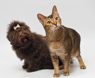 Cat and puppies of the lapdog in studio Royalty Free Stock Images
