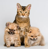 Cat and the puppies of the spitz-dog. In studio stock image
