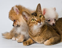 Cat and puppies in studio Stock Photo