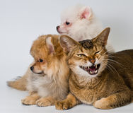 Cat and puppies in studio Royalty Free Stock Photography