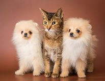 Cat and puppies  in studio Royalty Free Stock Image