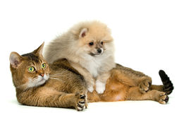 Cat and puppy. In studio royalty free stock image