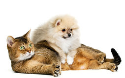 Cat and puppy. In studio stock images