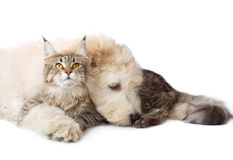 Cat and puppy. Cat of breed Maine coon and a puppy stock image