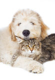 Cat and puppy. Cat of breed Maine coon and a puppy stock photos