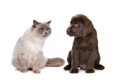 Cat and puppy. A purebred cat and a chocolate Labrador puppy in front of a white background stock photo