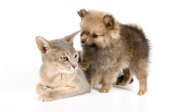 Cat and puppy. Cat of Abyssinian breed and the puppy of the spitz-dog Royalty Free Stock Photography