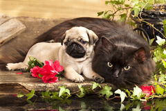 Cat and puppy. Pug in retro backgraund stock photo