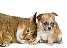 Cat and puppy of the chihuahua. In studio royalty free stock photo
