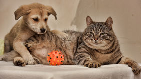 Cat and puppy. Fat tabby cat and a small puppy stock images