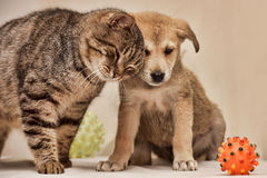 Cat and puppy. Fat tabby cat and a small puppy royalty free stock photo
