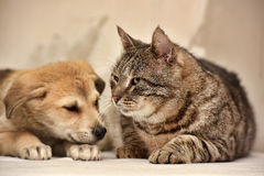 Cat and puppy. Fat tabby cat and a small puppy stock photography