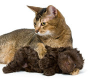 Cat and the puppy of the lapdog. In studio royalty free stock photography