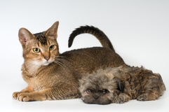 Cat and the puppy of the lapdog in studio Royalty Free Stock Photos