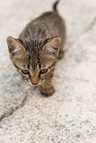 Cat puppy Royalty Free Stock Photography