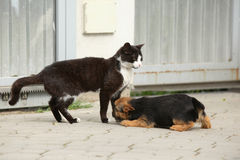 Cat with puppy of Norwich terrier Stock Image