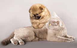 Cat and puppy Spitz Stock Images