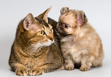 Cat and the puppy of the spitz-dog. In studio stock images