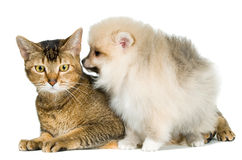 Cat and the puppy of the spitz-dog. In studio stock photos