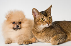 Cat and the puppy of the spitz-dog Stock Images