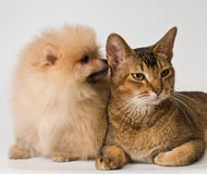 Cat and the puppy of the spitz-dog Royalty Free Stock Photos