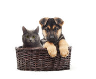Cat and puppy in a straw basket. On a white background stock photos