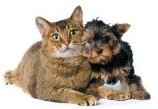 Cat and puppy  in studio Stock Photos