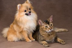 Cat and puppy  in studio Royalty Free Stock Image