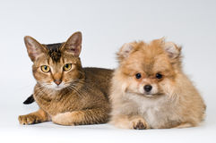 Cat and puppy in studio stock image