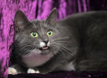 Cat on a purple background Stock Photos