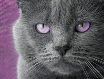 Cat With Purple Eyes Stock Images