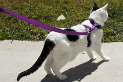 Cat on a Purple Leash. Adult feline white and black short hair cat wearing a harness attached to a leash held upright outdoors in the sun on a sidewalk near some royalty free stock photo