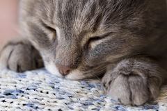 Free Cat Purring Royalty Free Stock Images - 83939679