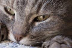 Cat purring Royalty Free Stock Photo