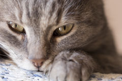 Cat purring Stock Photo