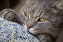 Cat purring Royalty Free Stock Images