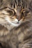 Cat Purrs Image libre de droits