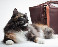 Cat and purse Royalty Free Stock Photo